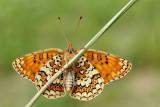 Knapweed fritillary Melitaea phoebe veliki pisanèek_MG_4194-111.jpg
