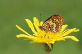 Knapweed fritillary Melitaea phoebe veliki pisanèek_MG_4223-111.jpg