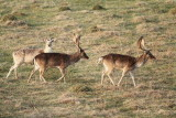 Fallow deer Dama dama damjak_MG_1452-11.jpg