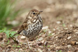 Song thrush Turdus philomelos cikovt_MG_2723-11.jpg