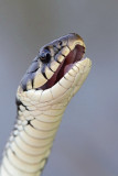 Grass snake Natrix natrix belou¹ka_MG_2610-11.jpg