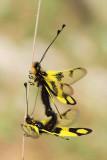 Owl-fly Libelloides macaronius metuljènica_MG_6020-11.jpg
