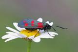 Six-spot burnet moth Zygaena filipendulae osladov ovniè_MG_76251-11.jpg