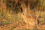 Common rabbit Oryctolagus cuniculus kunec_MG_5895-11.jpg