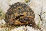 Hermann's tortoise Eurotestudo hermanni hercegovinensis gr¹ka ¾elva_MG_6036-11.jpg