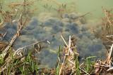 Spawn of common frog Rana temporaria mrest sekulje_MG_3707-11.jpg