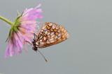 Heath fritillary Melitaea athalia navadni pisanèek_MG_7903-111.jpg