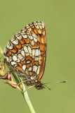 Heath fritillary Melitaea athalia navadni pisanèek_MG_7638-11.jpg
