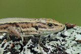 Viviparous lizard Zootoca  vivipara ¾ivorodna ku¹èarica_MG_9680-11.jpg