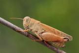 Italian locust Calliptamus italicus la¹ka kobilica_MG_0812-11.jpg