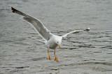 Yellow-legged gull Larus michahellis rumenonogi galeb_MG_0597-11.jpg