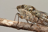 Cicada orni jesenov ¹kr¾at_MG_0491-11.jpg