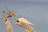 Lily bush cricket Tylopsis lilifolia_MG_0677-11.jpg