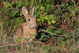 Common rabbit Oryctolagus cuniculus kunec_MG_2190-11.jpg