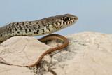 Balkan whip snake Hierophis gemonensis belica_MG_1968-11.jpg