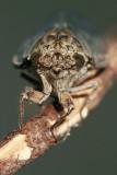 Cicada orni jesenov ¹kr¾at_MG_0522-11.jpg