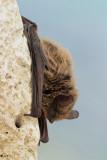 Bat netopir_MG_1924-11.jpg
