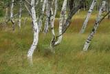 Birch forest_MG_0533-11.jpg