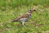 Song thrush Turdus philomelos cikovt_MG_9774-11.jpg