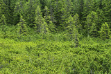 Coniferous forest  iglast gozd_MG_9744-11.jpg