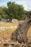Olive trees oljke_MG_5745-11.jpg