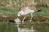 Gull with fish galeb z ribo_MG_3689-11.jpg