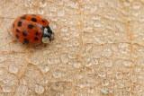 Harlequin ladybird Harmonia axyridis harlekinska polonica_MG_1087-11.jpg