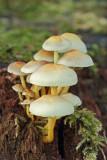 Sulphur tuft Hypholoma fasciculare navadna žveplenjača_MG_1121-11.jpg