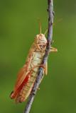 Italian locust Calliptamus italicus la¹ka kobilica_MG_0807-111.jpg