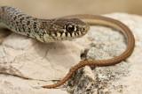 Balkan whip snake Hierophis gemonensis belica_MG_1965-111.jpg