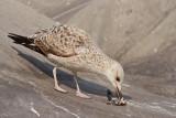 Gull with fish galeb z ribo_MG_0791-11.jpg