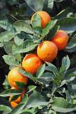 Orange pomaranèa_MG_2583-11.jpg