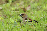 Hawfinch Coccothraustes coccothraustes dlesk_MG_2703-11.jpg