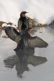Pygmy cormorant Phalacrocorax pygmeus pritlikavi kormoran_MG_6141-11.jpg