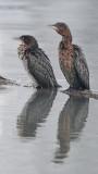 Pygmy cormorant Phalacrocorax pygmeus pritlikavi kormoran_MG_6974-11.jpg