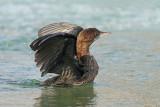 Pygmy cormorant Phalacrocorax pygmeus pritlikavi kormoran_MG_6307-11.jpg