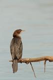 Pygmy cormorant Microcarbo pygmeus pritlikavi kormoran_MG_7354-11.jpg
