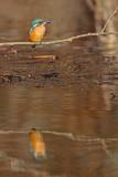 Kingfisher Alcedo athis vodomec_MG_5202-11.jpg