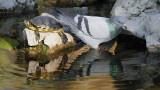 Yellow-bellied slider and pigeon rumenovratka in golob_MG_2758-111.jpg