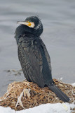 great_cormorant_phalacrocorax_carbo