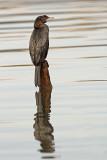 Pygmy cormorant Microcarbo pygmeus pritlikavi kormoran_MG_7373-11.jpg