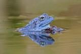 Moor frog Rana arvalis plavèek_MG_8346-111.jpg
