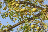 Eastern black walnut  Juglans nigra èrni oreh_MG_6313-11.jpg
