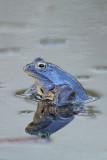 Moor frog Rana arvalis plavèek_MG_8367-11.jpg
