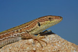 Italian wall lizard Podarcis siculus primorska ku¹èarica_MG_5111-11.jpg