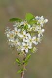 Rock cherry Prunus mahaleb re¹eljika_MG_7843-11.jpg