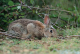 Common rabbit Oryctolagus cuniculus kunec_MG_5945-11.jpg