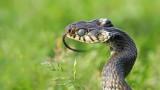 Grass snake Natrix natrix belou¹ka_MG_8707-111.jpg