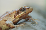 Italian agile frog Rana latastei la¹ka ¾aba_MG_9965-11.jpg
