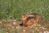 Brown hare Lepus europaeus poljski zajec_MG_0330-111.jpg